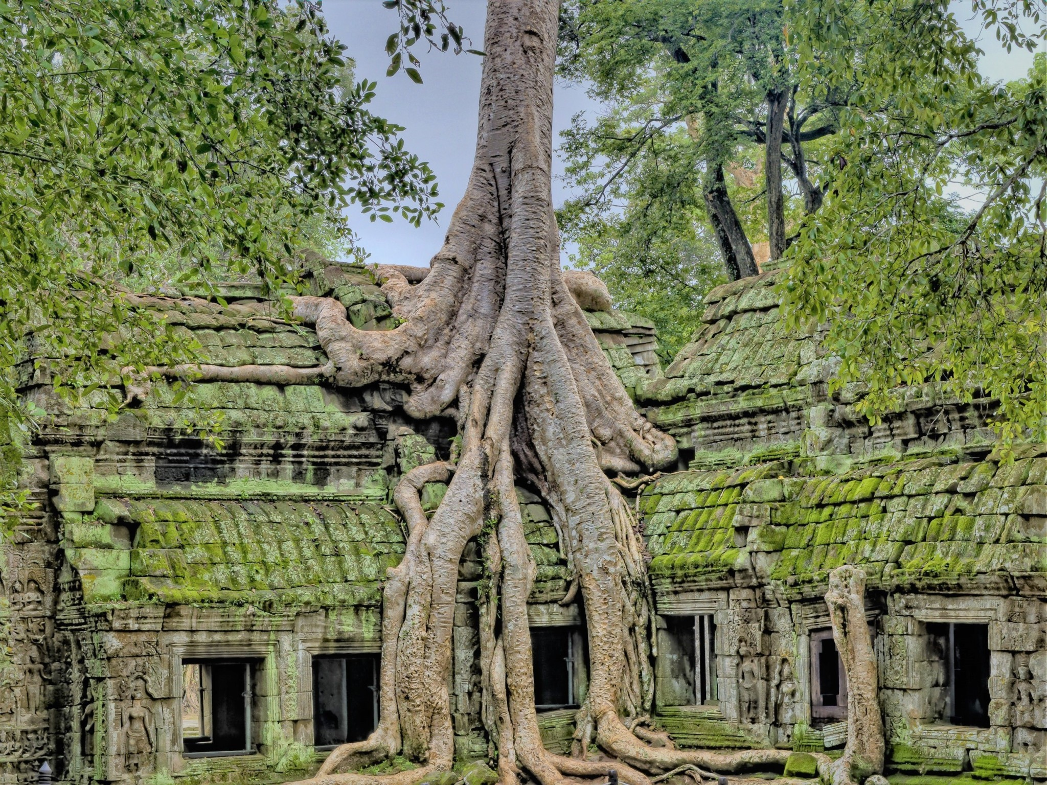 The roots of a large tree growing on and over the roof of an ancient moss-covered ruined temple in Angkor, Cambodia, representing the partnership between nature and humanity.