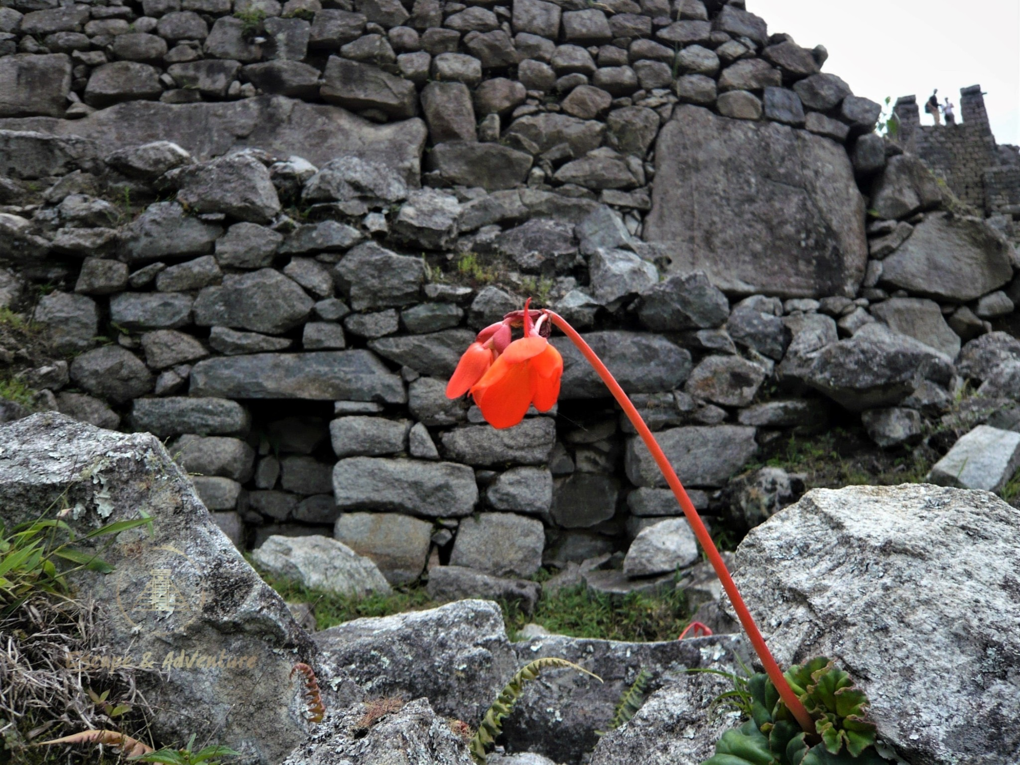 A single bright orange flower and stem growing from Incan stone ruins.
