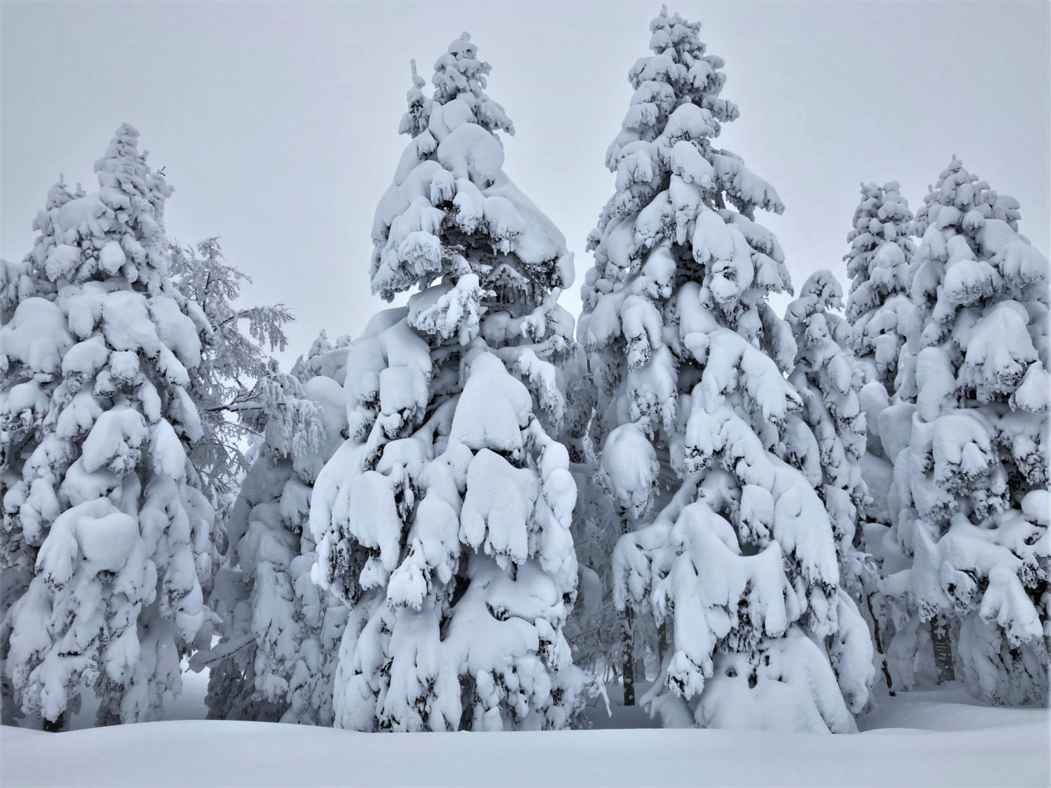 Large snow-covered trees at the edge of a winter forest on Mount Zao in Yamagata, Japan.