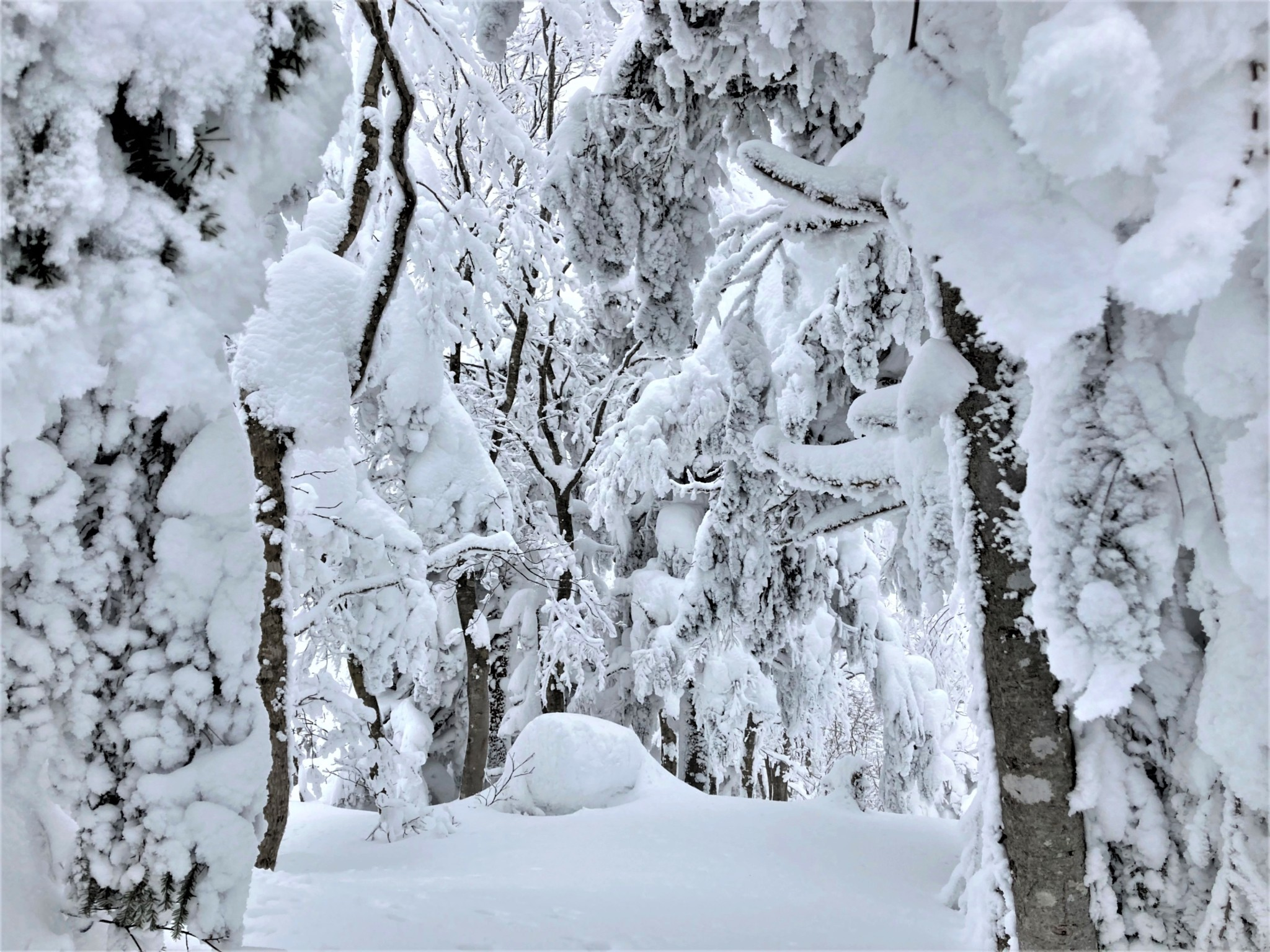 A winter forest clearing covered in deep virgin snow on Mount Zao in Yamagata, Japan.