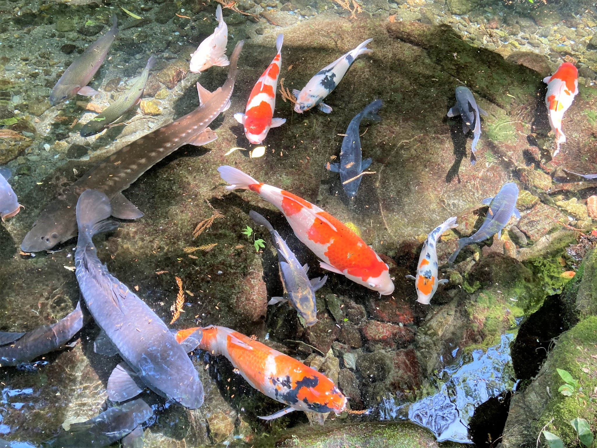 A group of colourful koi fish swimming in crystal clear water.