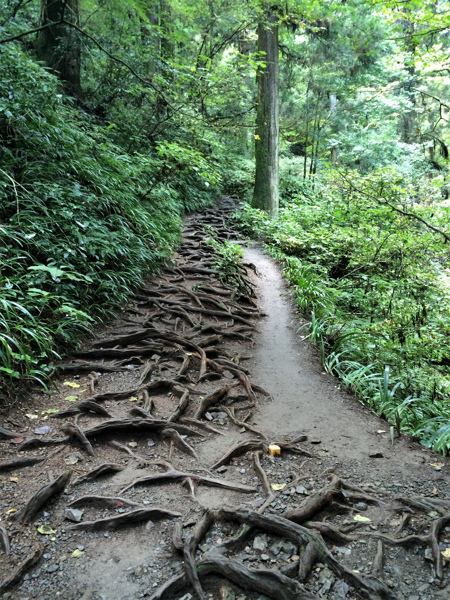 A path covered with tree roots leading through a forest in Japan.