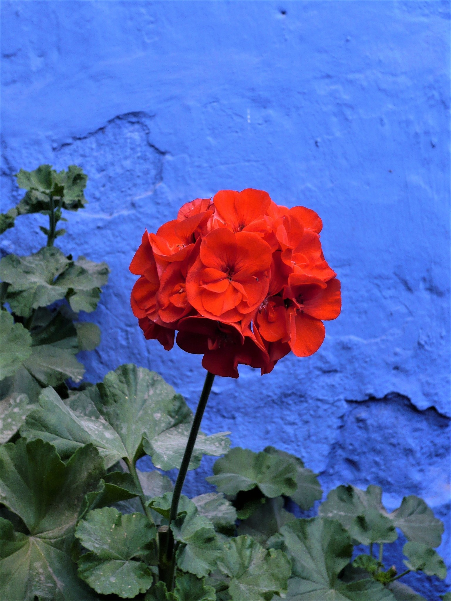 A bright red flower standing out against a vivid blue painted wall in Arequipa, Peru.