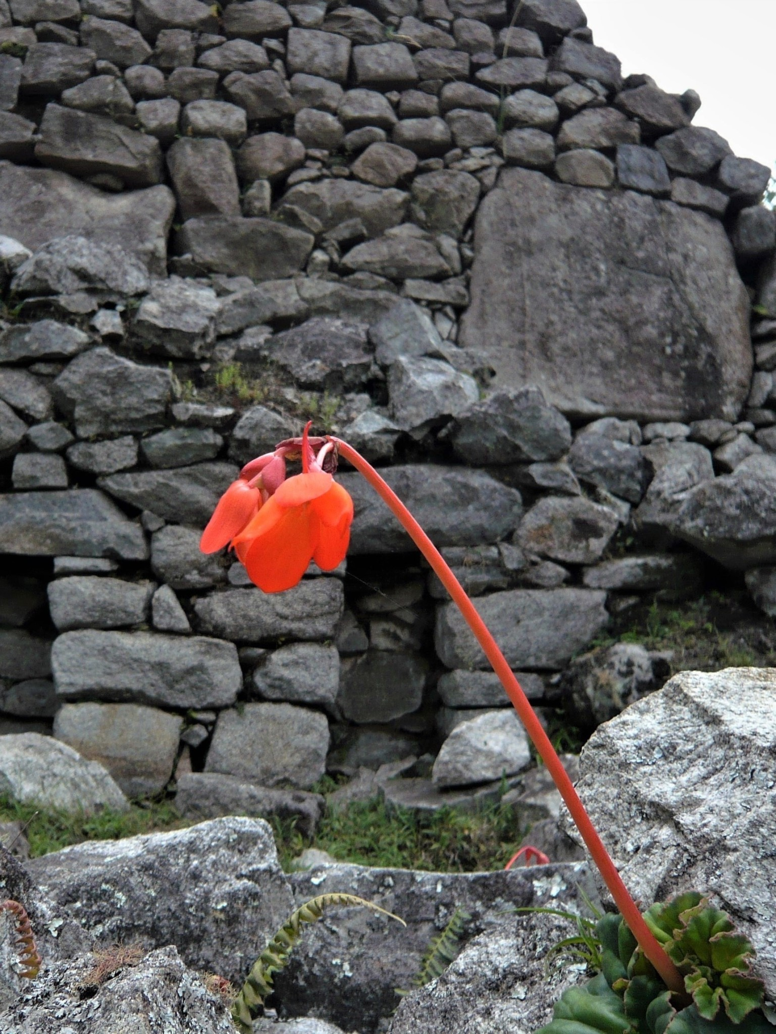A bright orange flower standing out against the grey stonework of Machu Picchu.